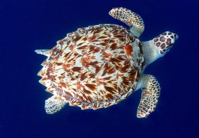 tartarugadepente
